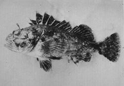 Rockfish. Photo