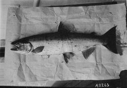 Silver salmon. Photo