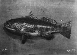 Sebastodes Sp., one of the rockfishes. Photo