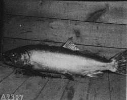 Fishes, Rutter salmon investigation, Sacramento River, 1897-1899, a 48 lb Photo