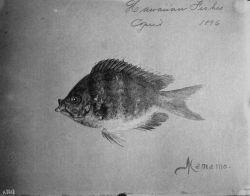 Hawaiian fishes, 1896, Mamamo. Photo