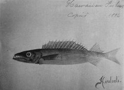 Hawaiian fishes, 1896, Hauliuli. Photo