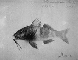 Hawaiian fishes, 1896, Moano Photo