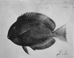 Hawaiian fishes, 1896, Pualu. Photo
