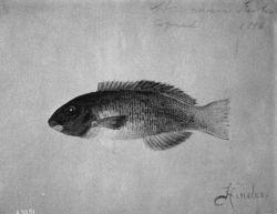 Hawaiian Fishes, 1896, Hinalea. Photo