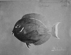 Hawaiian fishes, 1896, Pakuikui. Photo