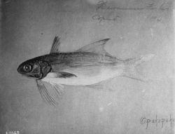 Hawaiian Fishes, 1896, Opakapaka. Photo