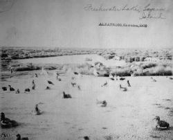 Albatross, HI, 1902, freshwater lake, Laysan Island. Photo