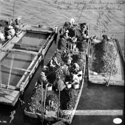 Oyster industry, San Francisco Bay, culling oysters, Milbrae, CA, 1889. Photo