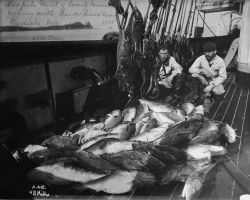 Codfish result of twenty minutes of fishing with hand lines near Kodiak Island, AK, 1888, steamer Albatross. Photo