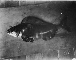 Atka mackerel, Atka, AK, 1893. Photo