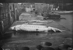 Sturgeon, 8 feet long, 1888. Photo