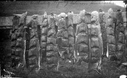 Native method of drying salmon, Unalaska, AK. Photo