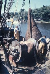 Bringing bag of alewives aboard a commercial trawler Photo