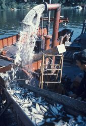 Pumping alewives from the hold of a Lake Michigan trawler Photo