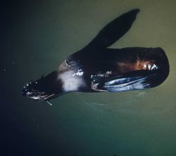 Northern fur seal floating, asleep, with back flippers folded over on left front flipper Photo