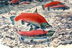 Sockeye (red) salmon spawning in an Alaska stream Photo