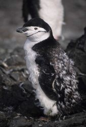 A molting chinstrap penguin Photo