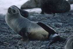An Antarctic fur seal giving birth, or 'pupping