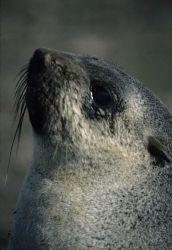 Close up of an Antarctic fur seal, basking in the sun. Photo