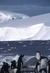 A group of gentoo penguins gather along an icy shoreline. Photo