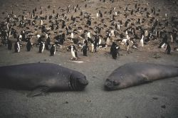 Female elephant seals at a chinstrap penguin colony. Photo