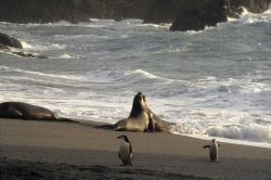 Southern elephant seals sparring at Seal Island, with chinstrap penguins looking on. Photo