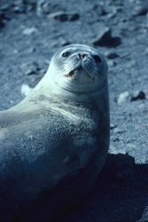 A resting Weddell seal. Photo