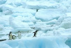 A group of chinstrap penguins on pack ice. Photo