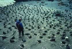 A biologist inspects a chinstrap penguin rookery. Photo