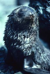 A fur seal pup after swimming. Photo
