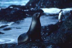 A female Antarctic fur seal after a swim. Photo