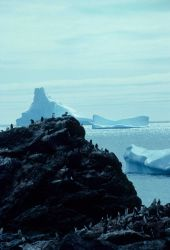 Icebergs offshore of a chinstrap penguin colony. Photo