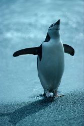 A chinstrap penguin after swimming. Photo