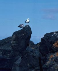 A kelp gull with a nearly full-grown chick perch atop rocks covered in red and black lichens. Photo