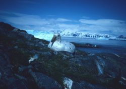 A rare white phase of Southern giant petrel nests at King George Island Photo