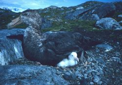 A southern giant petrel guards its chick. Photo