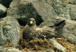 A brown skua sits on its nest. Photo