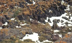 A brown skua sits on its nest, barely visible amid the mottled pattern of browns and oranges on the surrouding rocks Photo