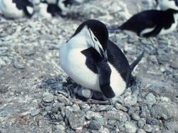A chinstrap penguin and chick. Photo