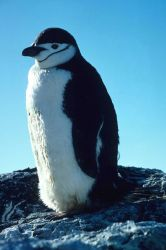 Chinstrap penguin. Photo
