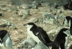 A chinstrap penguin oufitted with a radio transmitter. Photo