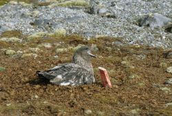 An adult skua sits on its nest near a nest marker Photo