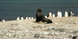 An Antarctic fur seal with gentoo penguins. Photo