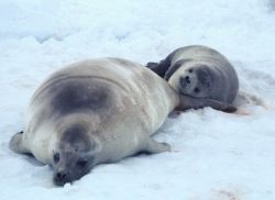 A pair of Weddell seals resting on the ice. Photo