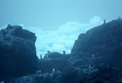 Chinstrap penguins at Seal Island in 1991. Photo