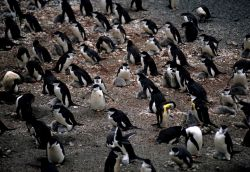 A colony of chinstrap penguins Photo