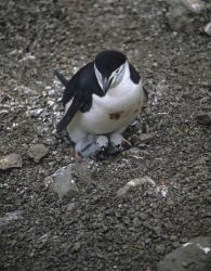 An adult chinstrap penguin with two chicks. Photo