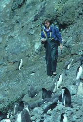 A biologist counts his way through a chinstrap penguin colony on Seal Island. Photo