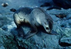 A yearling Antarctic fur seal. Photo